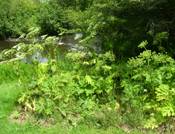 Giant hogweed along a stream bank