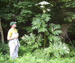 Giant Hogweed Michigan Map.Giant Hogweed Nys Dept Of Environmental Conservation