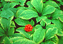American ginseng plant with berries