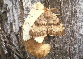 gypsy moth adults and eggs