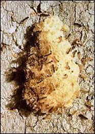 1869 moth Asian gypsy