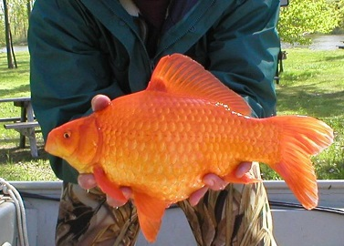 A person holding a large goldfish
