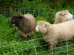 sheep will eat invasive plants