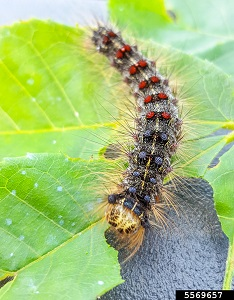 A gypsy moth caterpillar has a hairy back with blue and red spots in its late stage of development