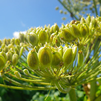 giant hogweed seeds