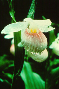 State Protected Plants - NYS Dept. of Environmental Conservation