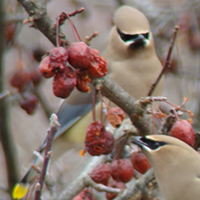 Crabapple provides food for birds