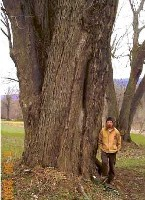 NYS Co-Champion Silver Maple