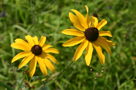Blackeyed Susan at Muller Hill State Forest