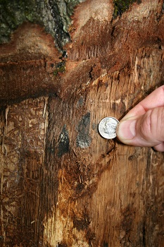 A few black spore pads are visible on a piece of firewood which has had the bark removed. The spore pads are about the size of a dime.