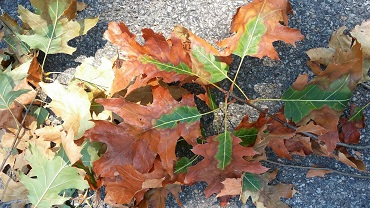 Leaves from an oak wilt infected tree. Brown coloration is noticable from the leaf edges towards the mid-vein of the leaf.