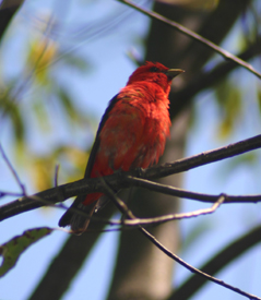 Scarlet Tanager in Perkins Pond State Forest