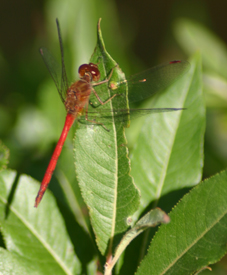 A photo of a damseyfly in Pigeon Hill State Forest