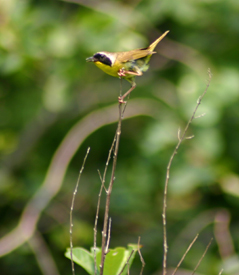 Picture of a bird, a Common Yellow Throat