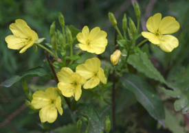 Pitcher Springs Evening Primrose
