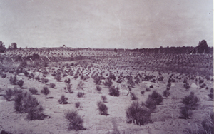 Archival photo of a large field full of seedlings