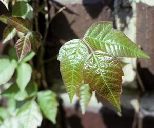 Pics of poison ivy leaves