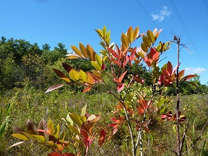 Poison sumac in a wetland