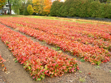 Rows of red oak seedlings