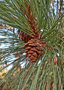 red pine needles and cone