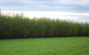 Line of planted sanbar willows