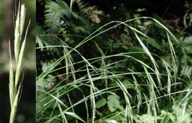 seed heads and stalks of slender false brome