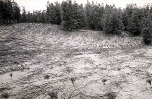 Open field of white pine seedlings, with brush scattered over the bare ground