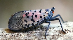 Spotted lanternfly with wings closed
