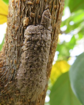 Spotted lanternfly egg masses on a tree