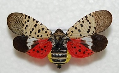 spotted lanternfly nys dept of environmental conservation