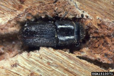 An adult southern pine beetle