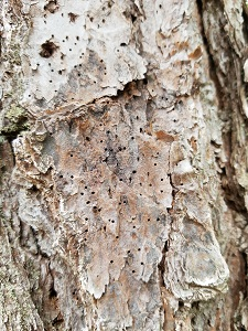 a pine tree with tiny holes scattered across the bark
