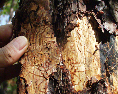 pine beetle galleries/tunnels under the bark