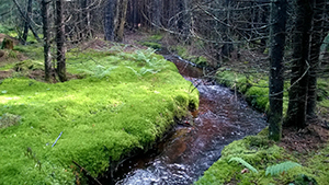 Stream through a spruce-fir forest with moss and ferns along the stream