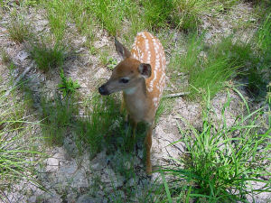 Fawn standing in grass and dirt.