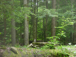 hemlock trees and leanto