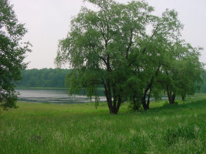 View of Cameron Pond, with willow trees in foreground.