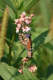 Monarch Butterfly in Tracy Creek State Forest