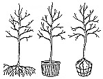diagram of grown, balled and burlapped and bare root trees