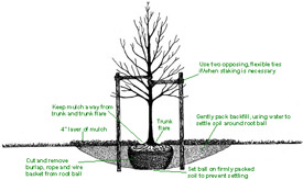 Diagram of balled and burlapped tree