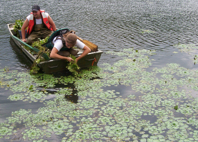 Two people in a row boat, one leaned over the stern harvesting water chestnut by hand