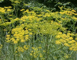 Wild parsnip in bloom