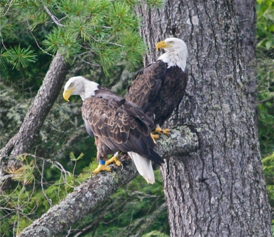 Two Bald Eagles standing on a tree limb