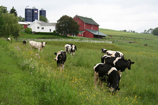 Cows grazing on pasture with farm buildings in the background