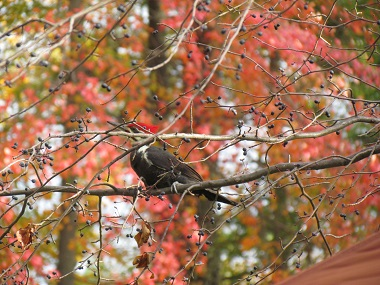 woodpecker in a tree in the fall