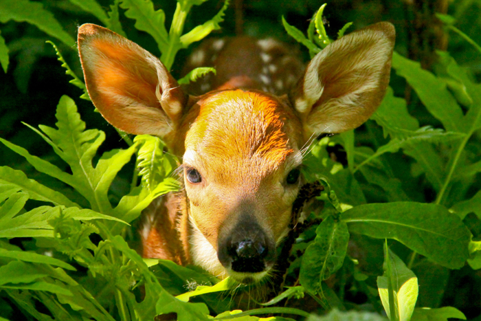 A fawn hidden in the bush