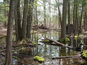 photo of wetland with trees in standing water