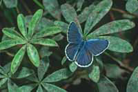 Karner Blue butterfly on a plant