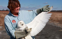A wildlife rehabilitator holds a snowy owl's wing out