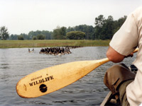 Picture of canoeing during the goose drive
